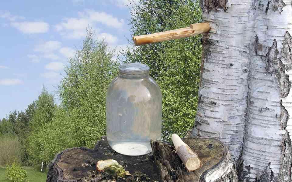 σημύδα, χρήσεις σημύδας, νερό σημύδας οφέλη νερού σημύδας